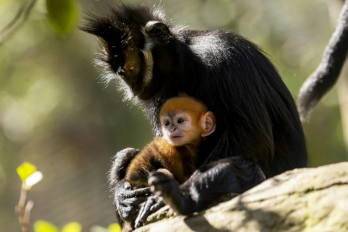 Francois' Langur is classified as an endangered species by the International Union for the Conservation of Nature (IUCN) since 2008