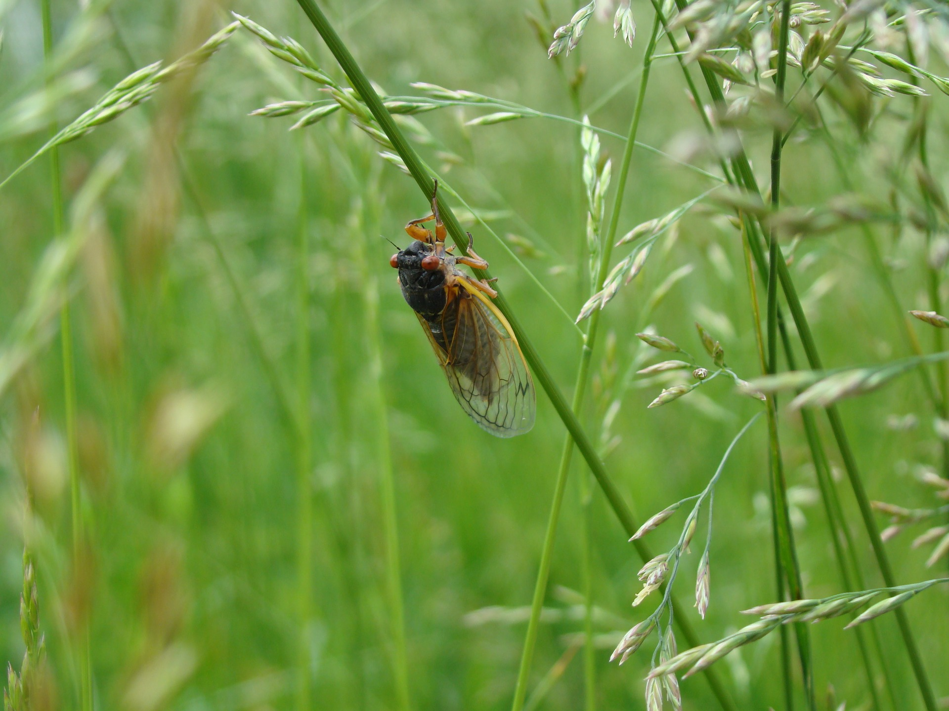 periodical cicadas emerging in parts of the United States