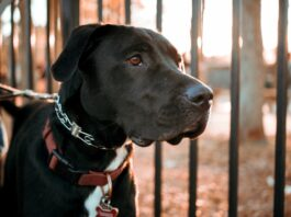 Dogs tamed to identify the previously unidentified odor signature of the lethal global pandemic