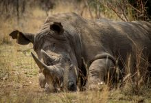 Photo of Conservation of nature: Decrease of more than 60 percent of Rhino poaching observed in Namibia