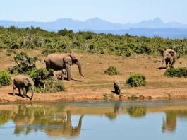 mysterious death of elephants